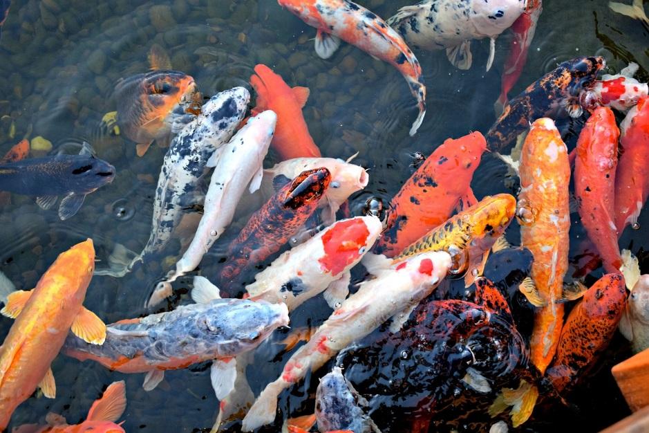 Bạn có biết vì sao người Nhật Bản ăn cá 5 bữa/tuần không? 5