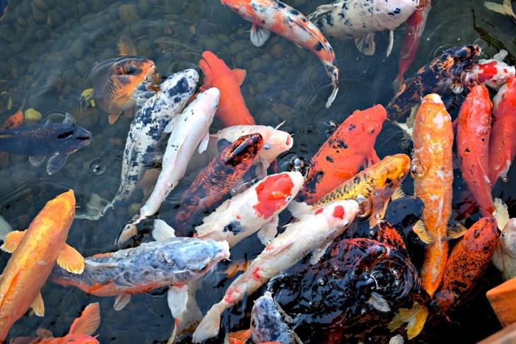 Bạn có biết vì sao người Nhật Bản ăn cá 5 bữa/tuần không? - ảnh 4